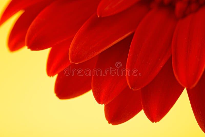 Macro roja de la flor del gerbera, en fondo amarillo imagenes de archivo