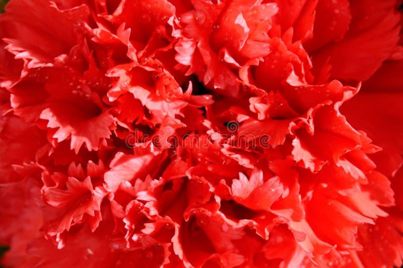 Macro roja del clavel foto de archivo