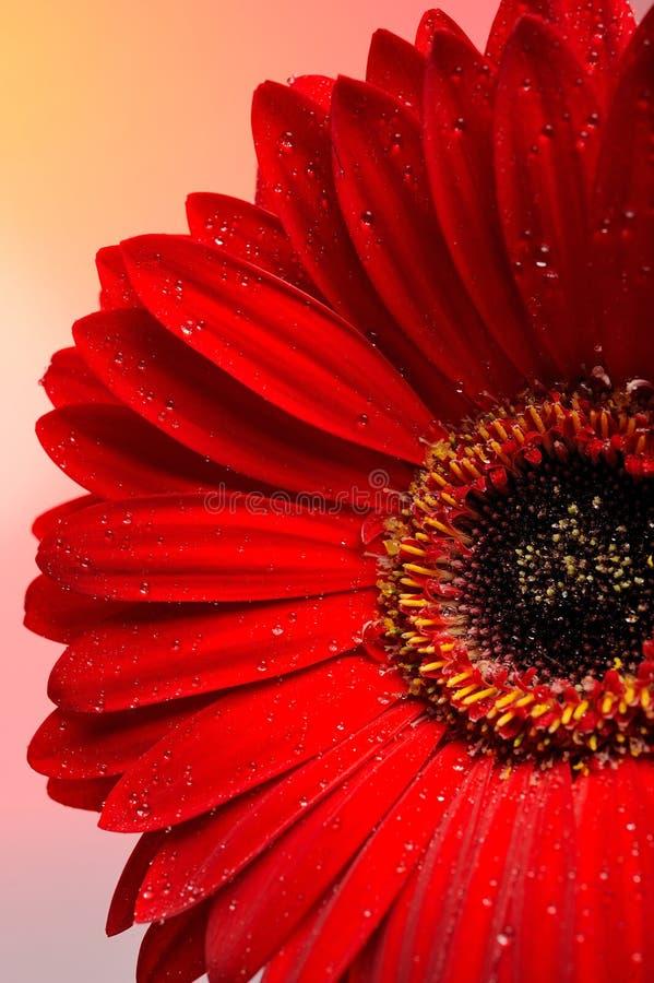 Macro roja hermosa de la pieza de la flor del gerber imagen de archivo