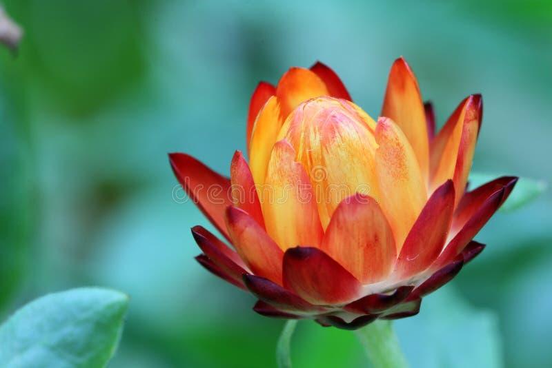Macro roja y amarilla de Strohblume de la flor imágenes de archivo libres de regalías