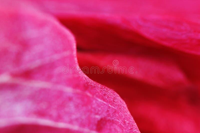 Macro rood bloemblaadje van een familie Malvaceae van de bloemhibiscus stock fotografie