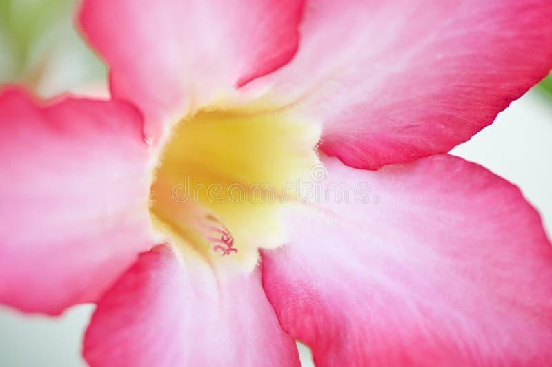 Macro rosada de la flor foto de archivo libre de regalías