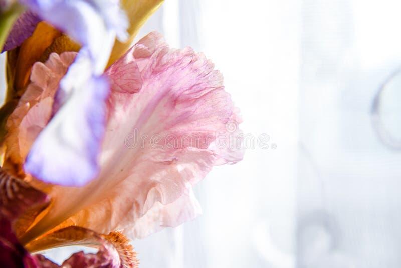Macro rosada de la flor del iris en un fondo blanco de la textura Foco selectivo fotografía de archivo
