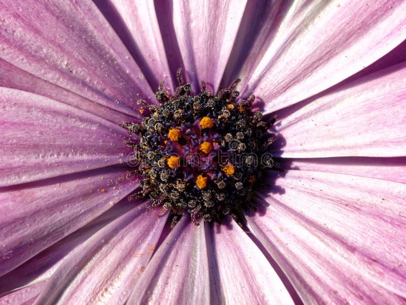 Macro rosada de la flor de la margarita fotografía de archivo
