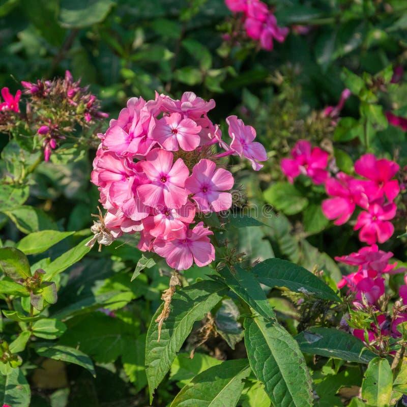 Macro rosada del polemonio Flores florecientes rosadas del polemonio Fondo del verano imagen de archivo