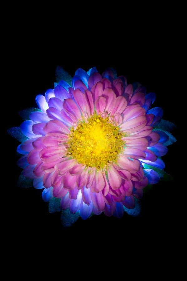 Macro rosada oscura surrealista de la dalia de la flor aislada en negro foto de archivo