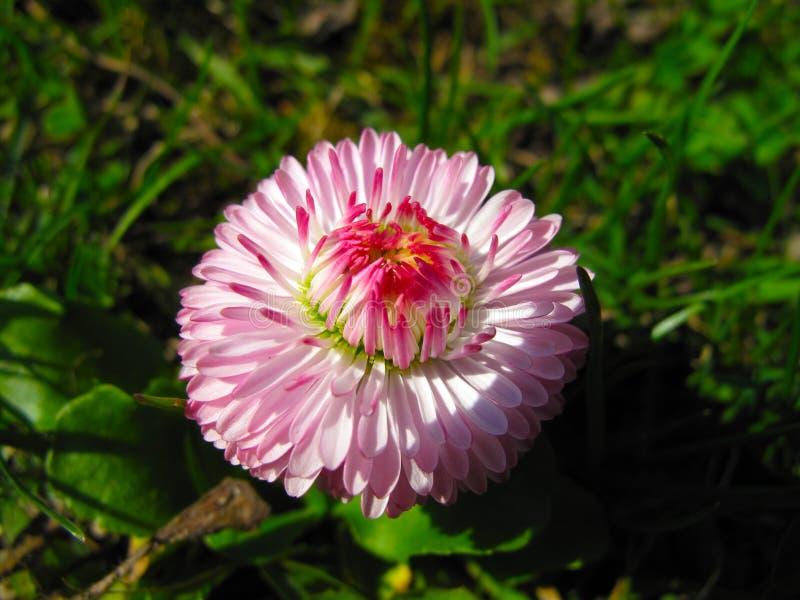 Macro rosada y blanca de la flor de la dalia fotos de archivo