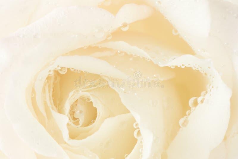 Macro rose royalty free stock photos