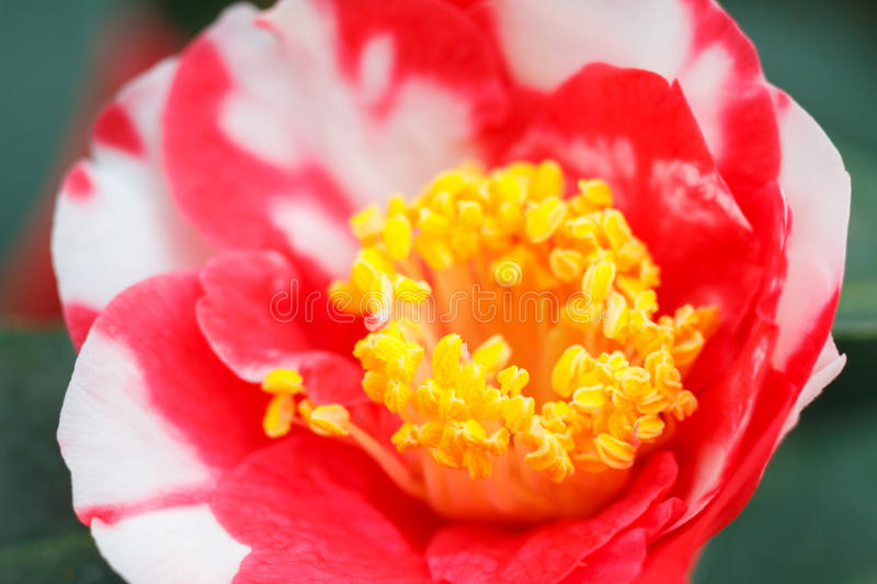 Macro of a rose camellia japonica. Macro of a red white camellia japonica - cultivar Hunter royalty free stock photos