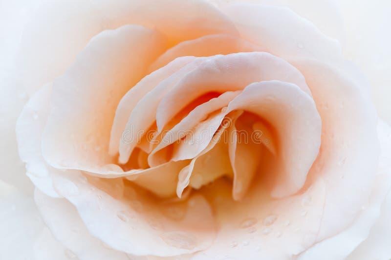 Macro rose de crème Pétales sensibles d'une rose photo libre de droits