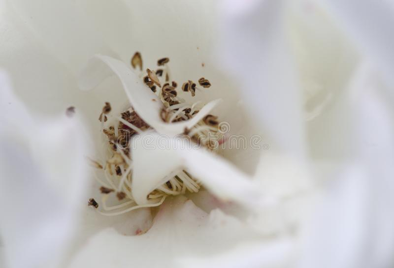 Macro rose de damassé images stock