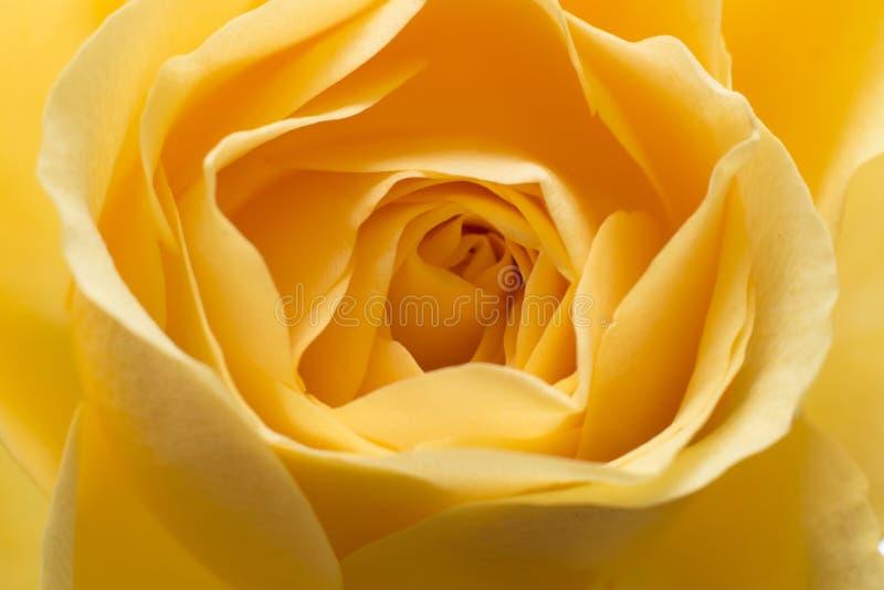 Macro rose de jaune image stock