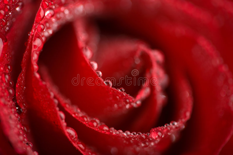 macro rose de rouge humide photo libre de droits