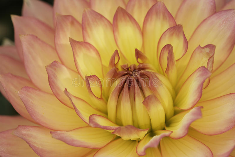 Macro rose et jaune de fleur photographie stock