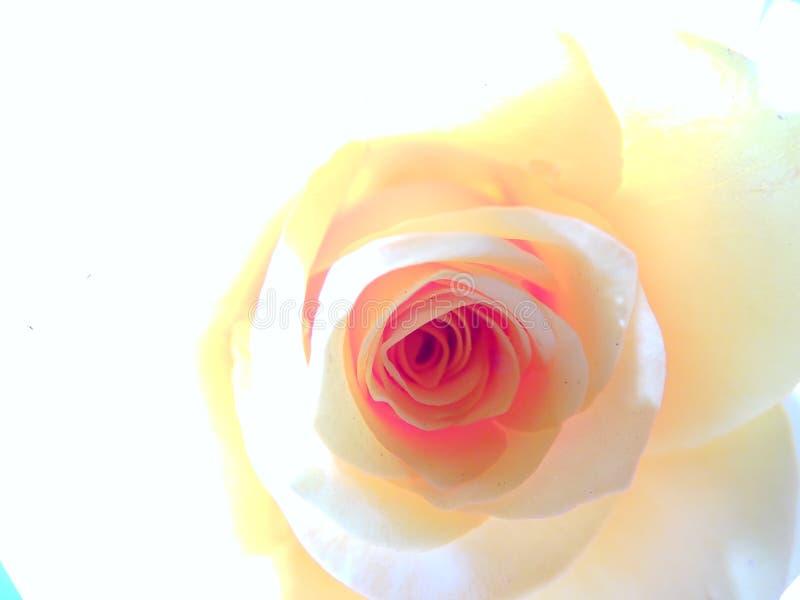 Macro Rose, High Key Portrait, Mobile Wallpaper stock photo