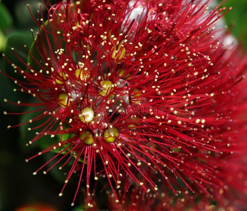 Macro rossa del fiore selvaggio immagini stock libere da diritti
