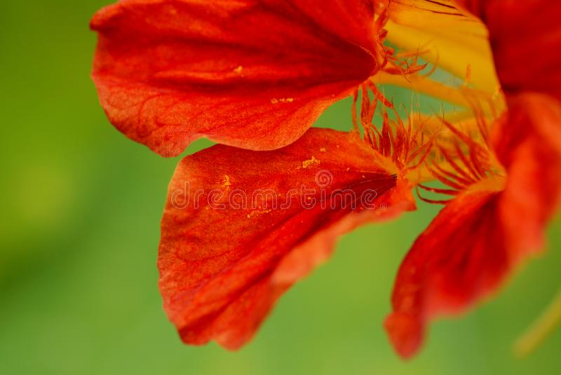 Macro rossa dell'estratto del fiore del nasturzio fotografie stock
