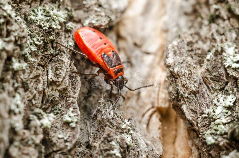 Macro rossa dell'insetto dell'insetto dello schermo o dell'insetto di puzzo fotografie stock libere da diritti