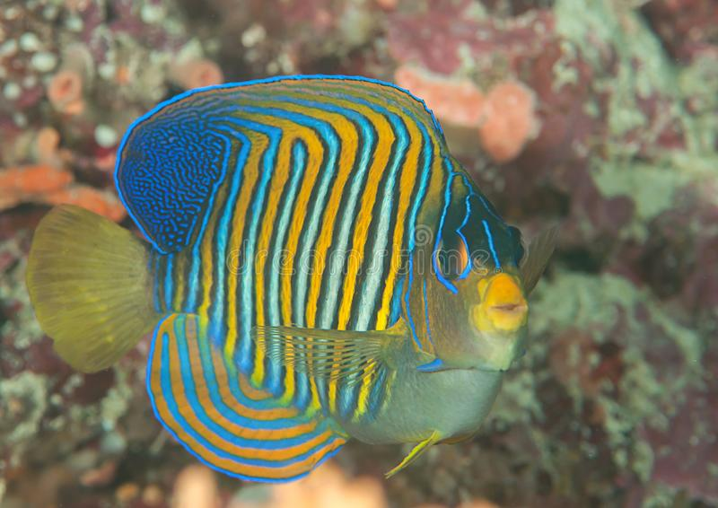 Macro of a royal or regal angelfish Pygoplites diacanthus swimming over coral reef of Bali stock images