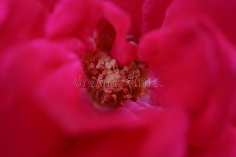Macro roze nam hoofd toe royalty-vrije stock foto's