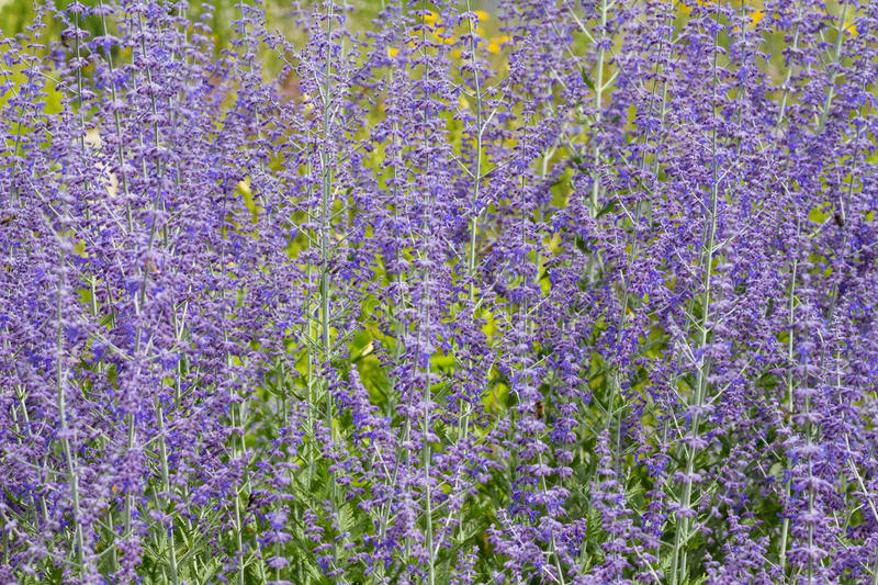 Macro of a russian sage royalty free stock photography