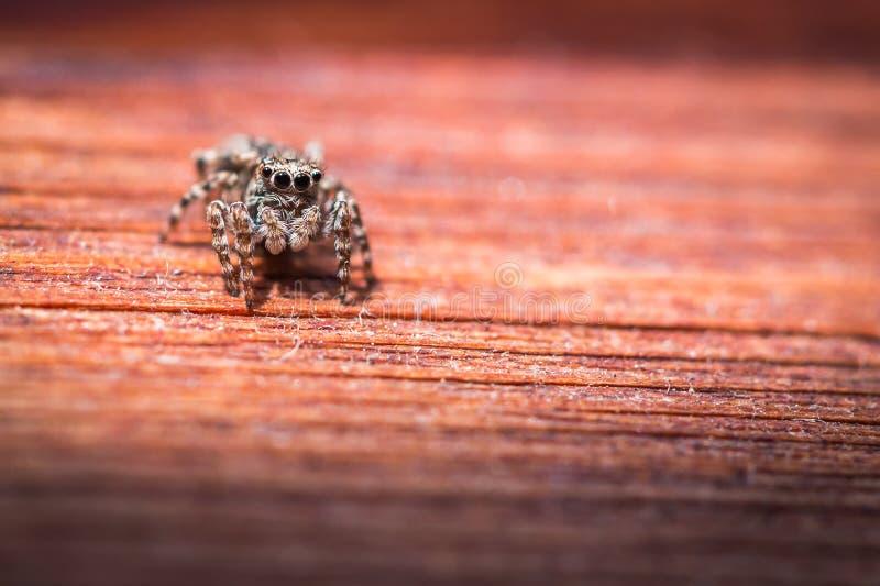 Macro sautant d'araignée de scenicus de Salticus sur une texture en bois, profondeur de champ image stock