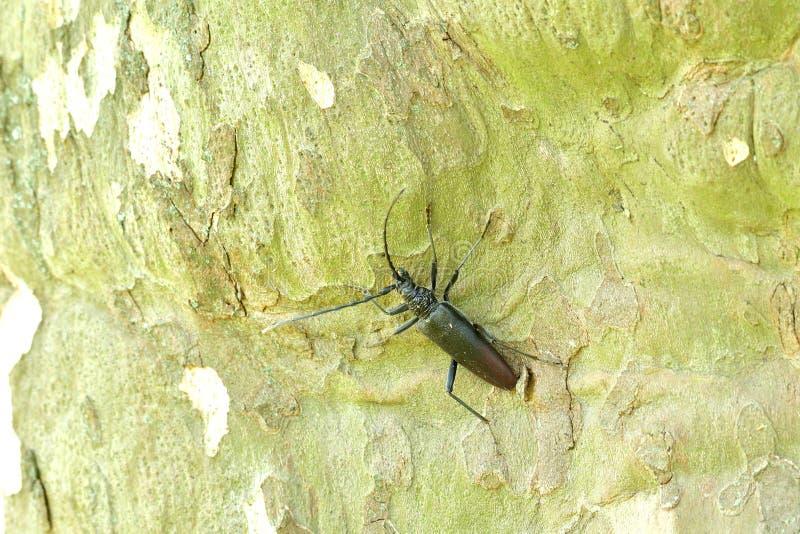 Macro scarabée de musc s'élevant sur l'arbre photographie stock libre de droits