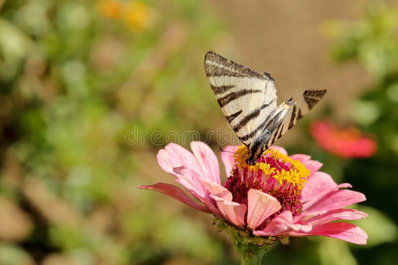 Macro of a Swallowtail Papilionidae butterfly drinking nectar on a pink zinnia elegans flower against blurred natural green backgr stock photo