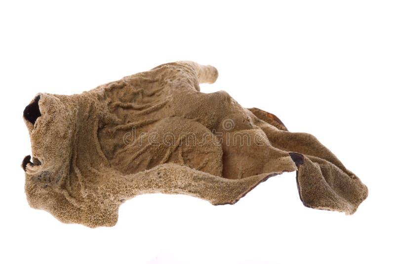 Macro secado comestível do fungo imagens de stock royalty free