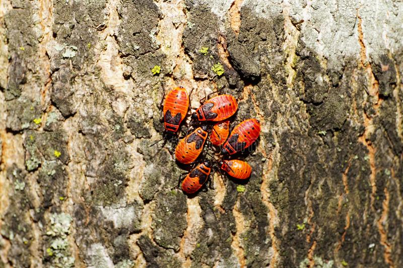 Macro of seven young red bugs soldier Pyrrhocoris on the bark of stock images