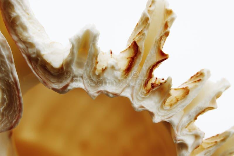 Macro shells royalty free stock photography