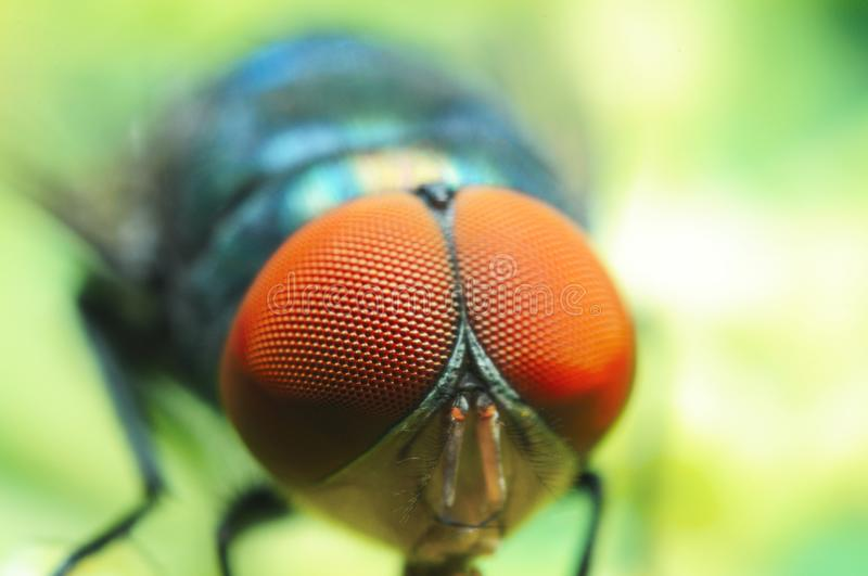 Macro shoot of red eye fly, insect royalty free stock photos