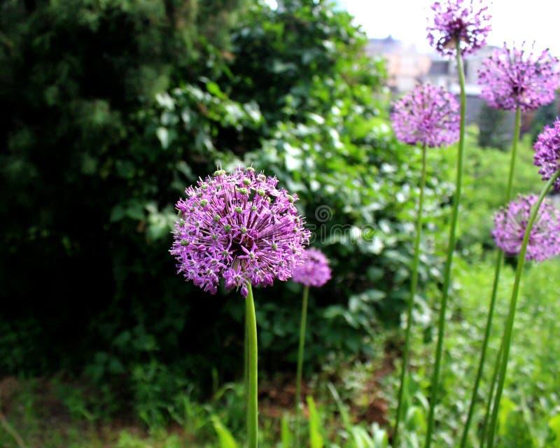 Allium purple flower close up similar. stock images