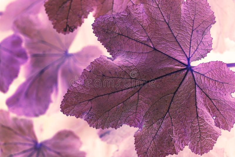 Macro shot abstract purple leaf stock photo