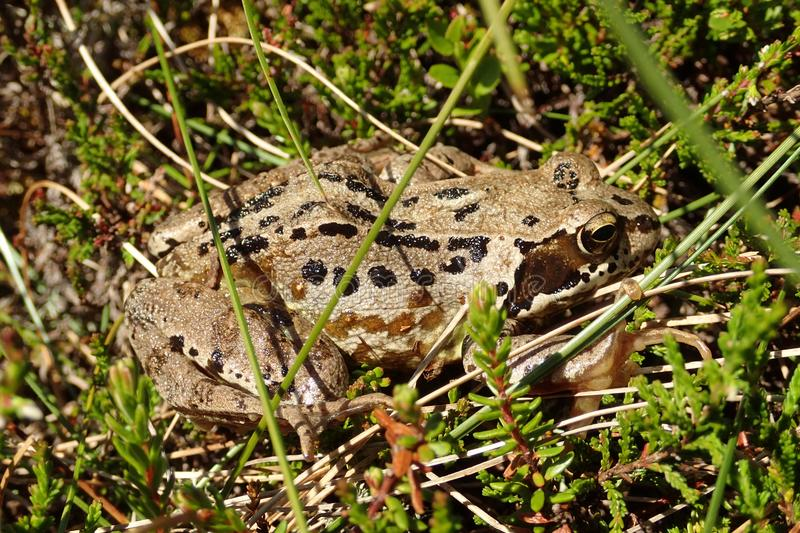 Macro shot of an adult Common Frog, Rana Temporaria, in the grasses & heather on a hot summers day. stock image