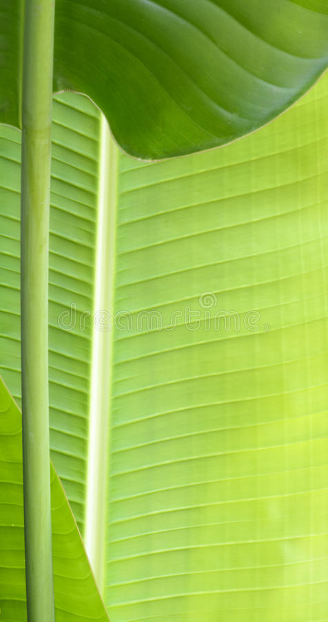Macro shot of banana leaf with growing stem. Close up of banana leaf royalty free stock photography