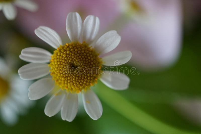 Macro shot of a beautiful chamomile in summer royalty free stock images