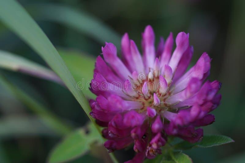 A macro shot of beautiful flowering clover stock image