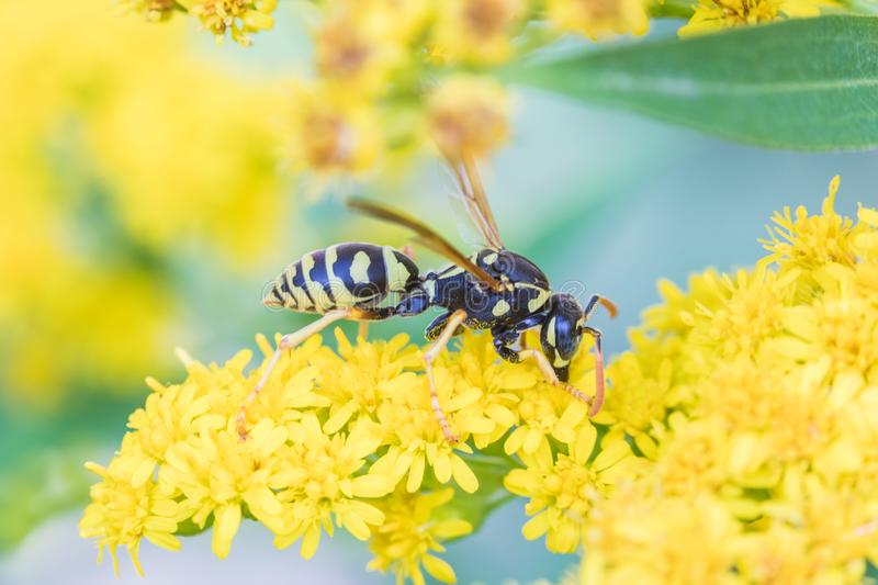 The macro shot of the beautiful fly or the wasp eating nectar on the yellow flowers among the grass in the sunny summer royalty free stock photography