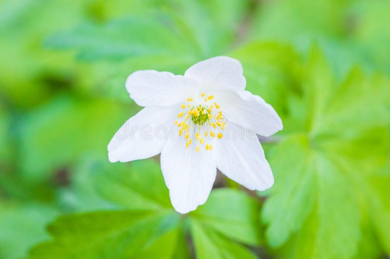 The macro shot of the beautiful spring forest flower stock images