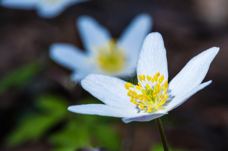 The macro shot of the beautiful spring forest flower royalty free stock images