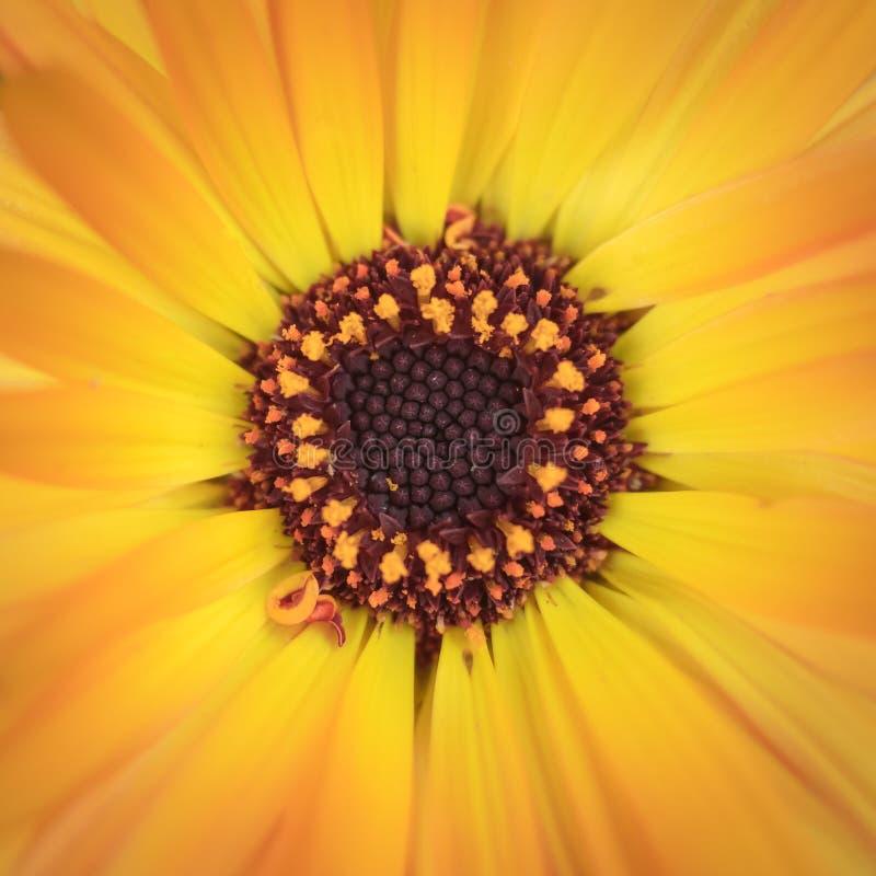 Macro shot of a beautiful yellow and orange gerber daisy royalty free stock images