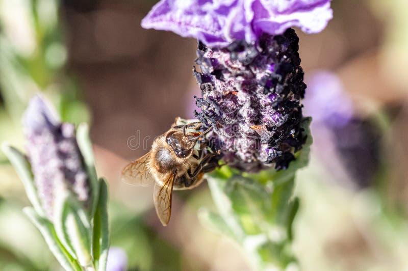 Macro shot of a Bee in a Lavander`s flower 3 stock photo