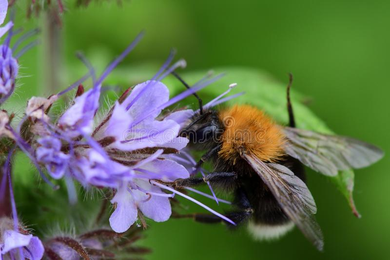 Bee on a phacelia flower. Macro shot of a bee pollinating a phacelia flower royalty free stock image