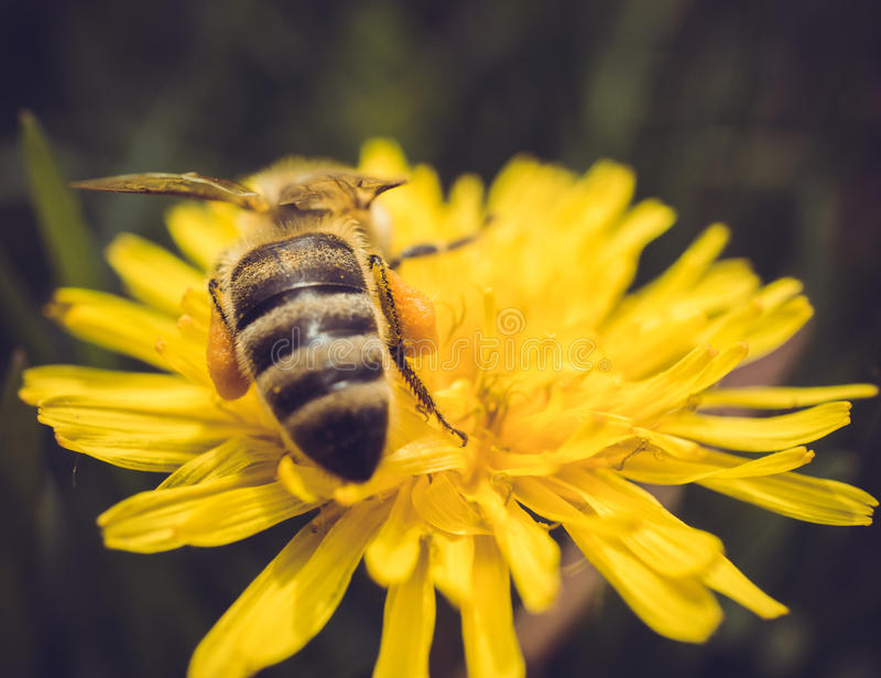 Macro shot of a bee sitting on yellow flower royalty free stock image