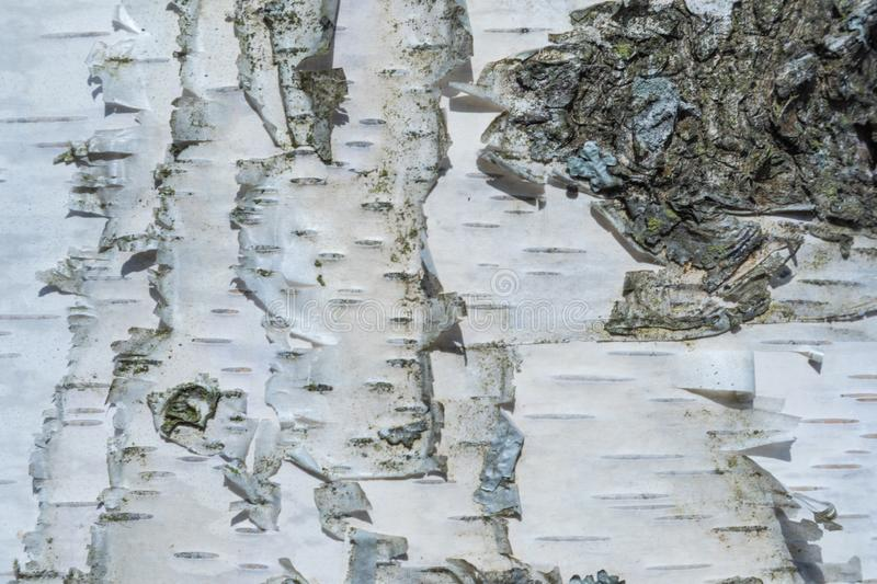 The macro shot of birch bark texture or background royalty free stock photo