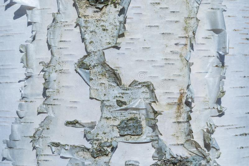 The macro shot of birch bark texture or background stock photography
