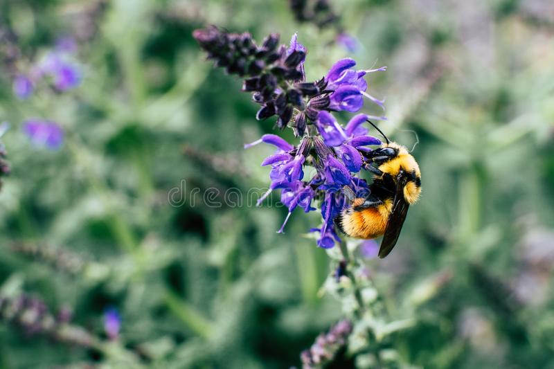 Macro Shot Of Black and Yellow Bee On Purple Flower royalty free stock images