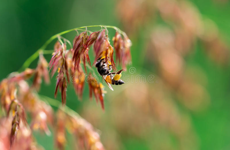 Macro shot of black yellow bee sucking sweet nectar from pink flowers. Macro shot of black yellow bee sucking sweet nectar from melinis repens pink flowers stock photography