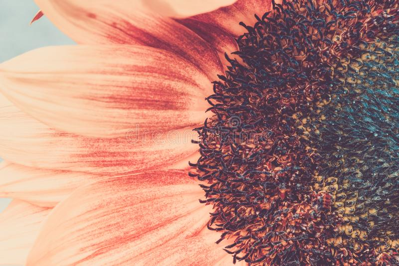 Macro shot of blooming sunflower. In retro style stock photos